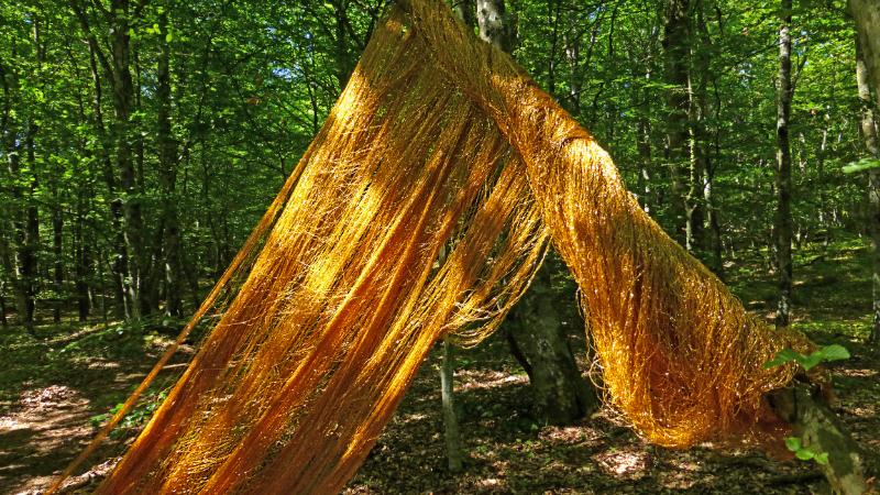 Guldgarnslöja som sveper mellan träd i bokskogen